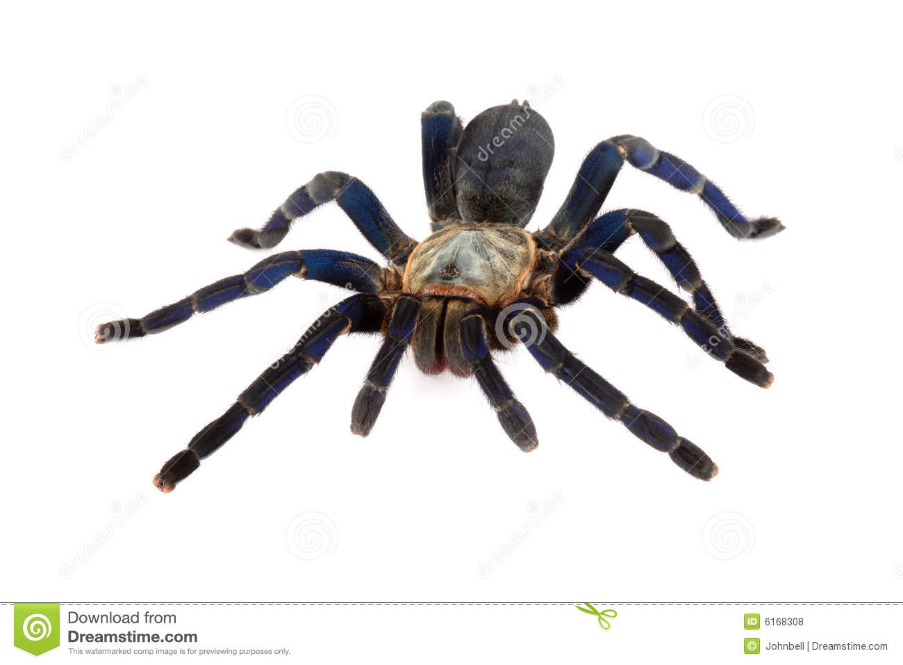 Cobalt Blue Tarantula. Royalty Free Stock Photos - Image ...
