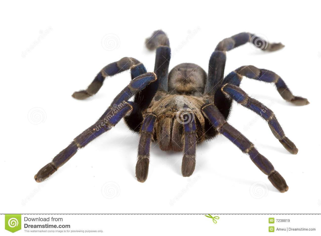 Cobalt Blue Tarantula Royalty Free Stock Images - Image ...