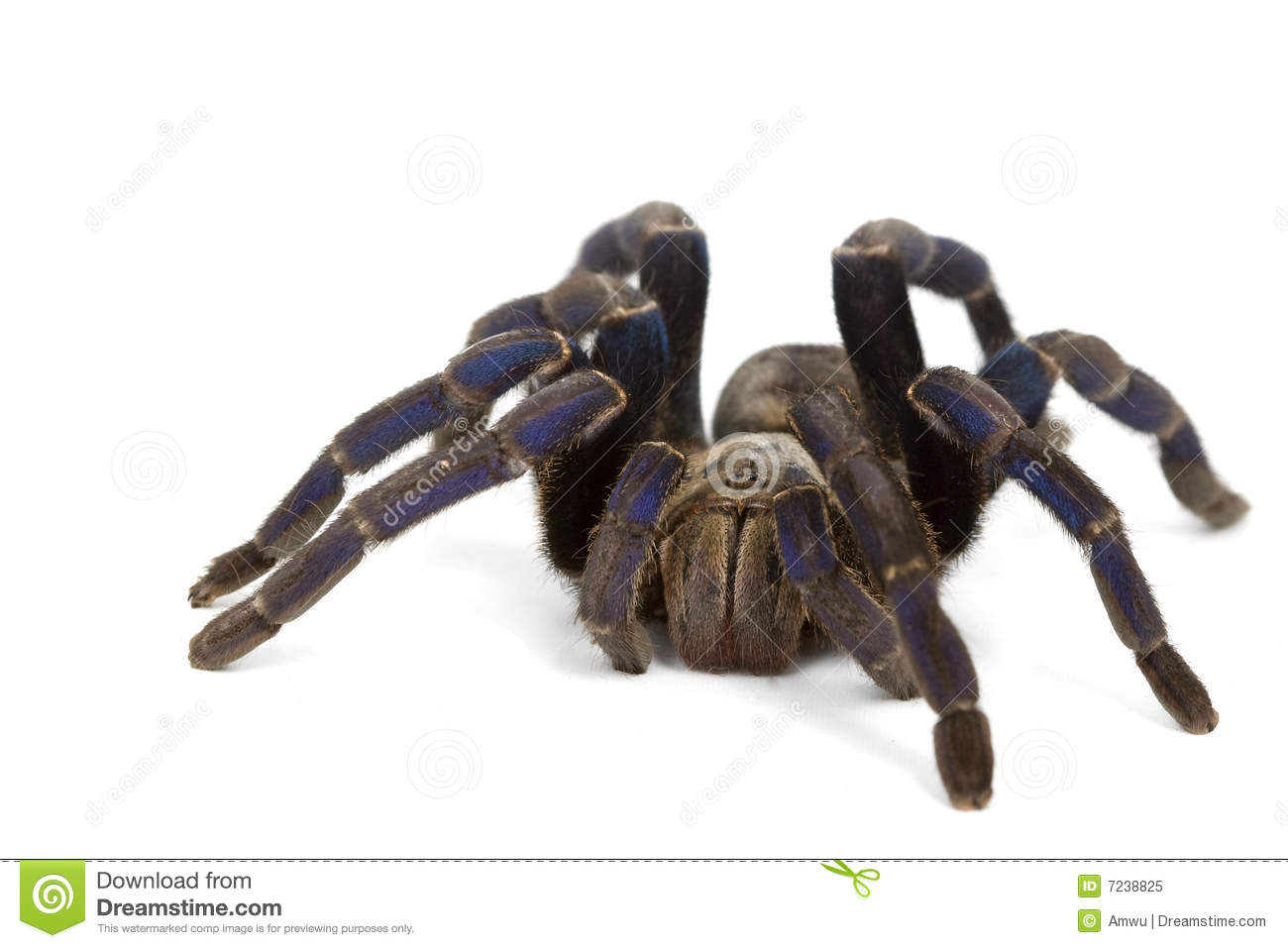 Cobalt Blue Tarantula Royalty Free Stock Photo - Image ...