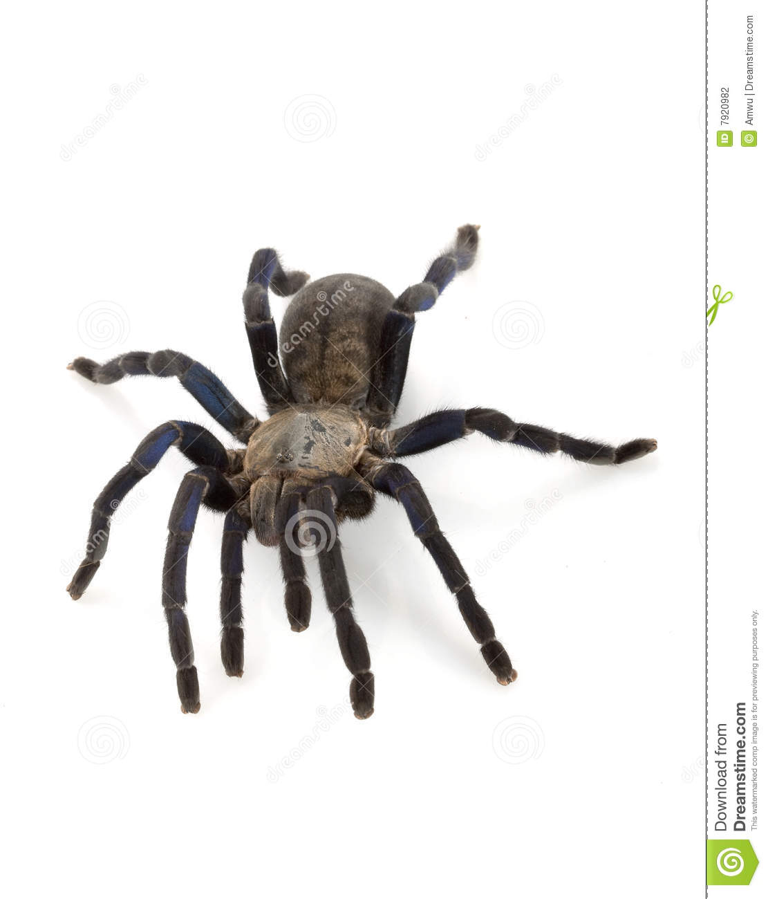 Cobalt Blue Tarantula Stock Photography - Image: 7920982
