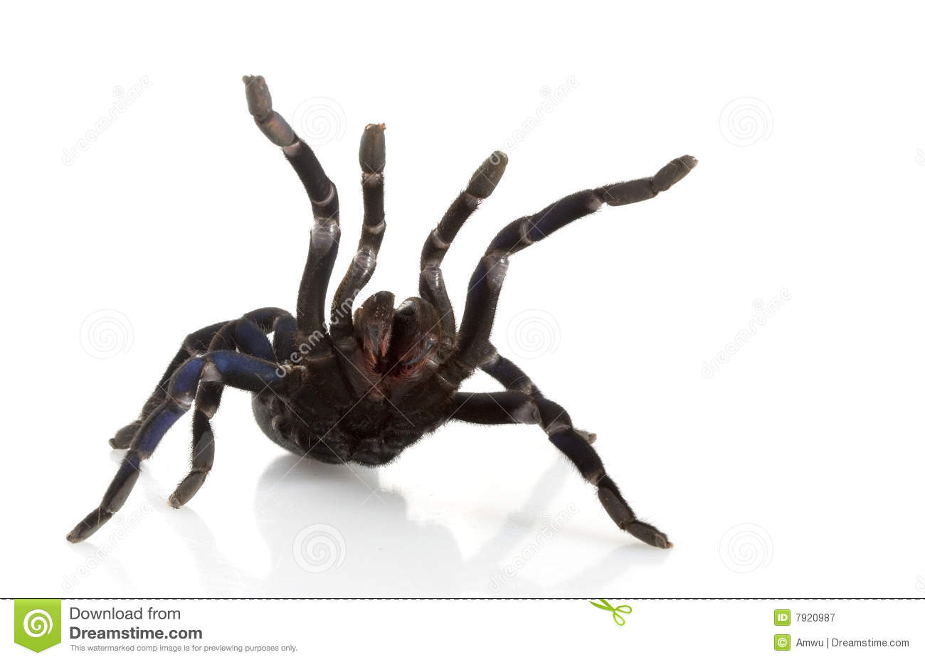 Cobalt Blue Tarantula Royalty Free Stock Photography ...