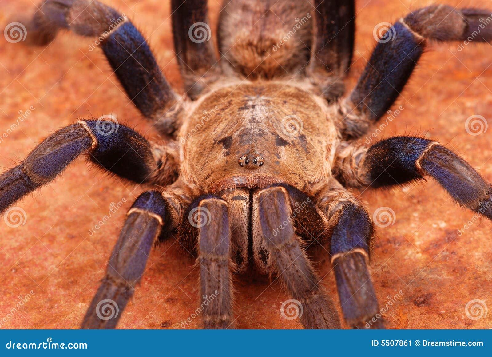 Cobalt Blue Tarantula (Haplopelma Lividum) Stock Image ...