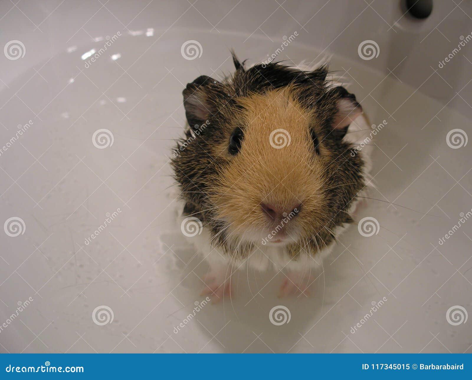Cobaye dans le bain image stock. Image du domestique - 117345015