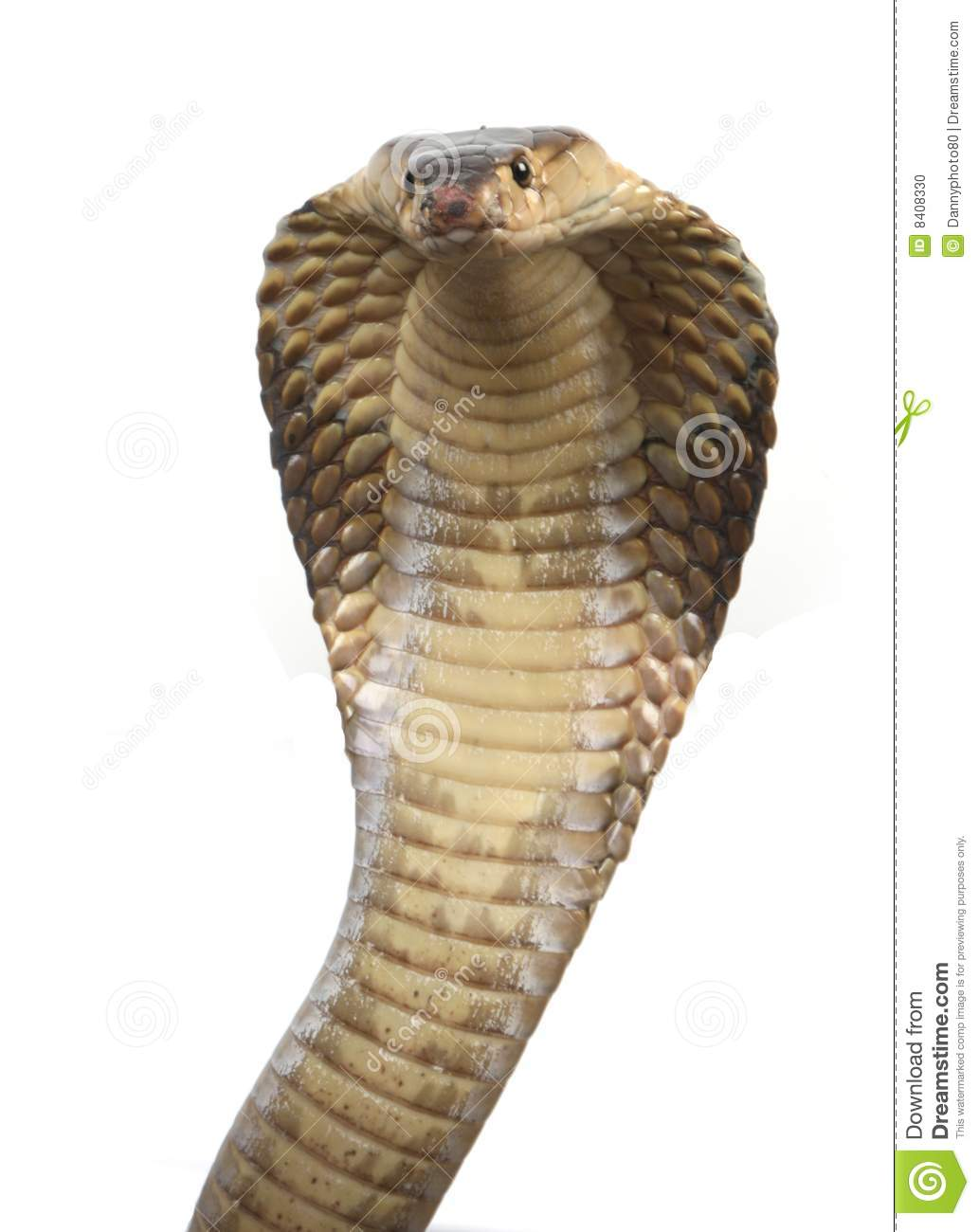 king cobra snake head