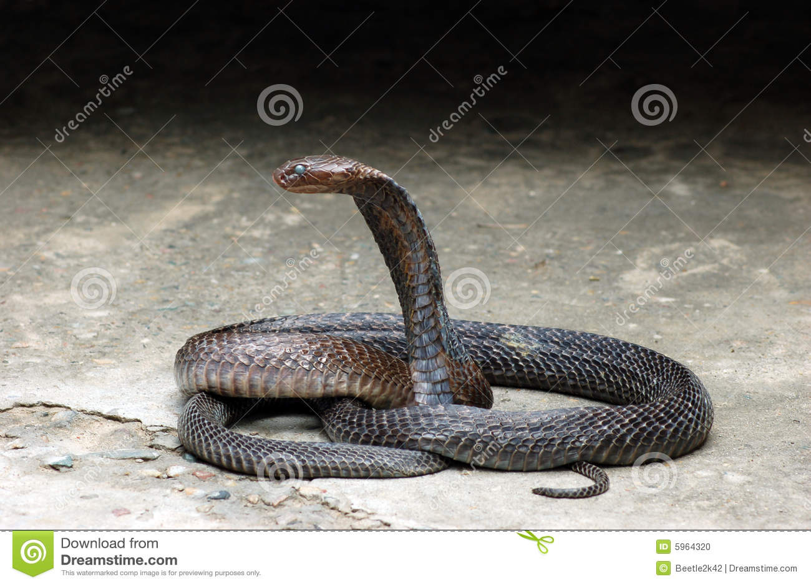 Cobra de roi
