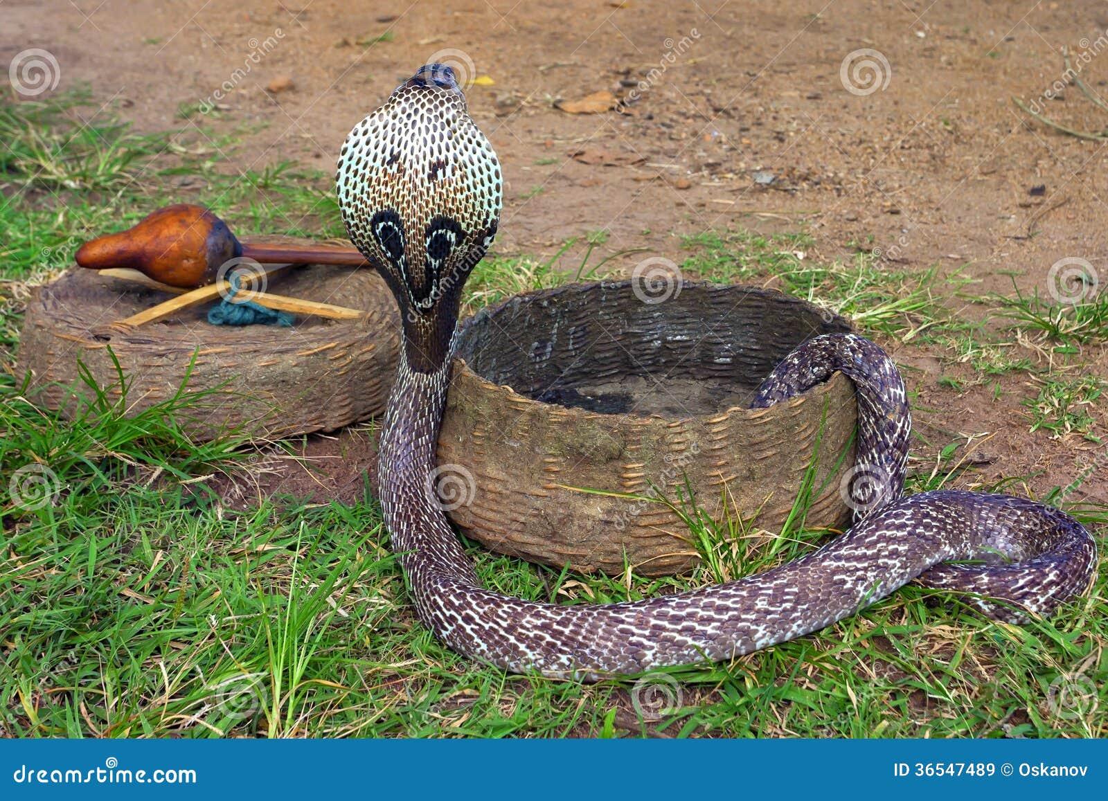 indisk kobra
