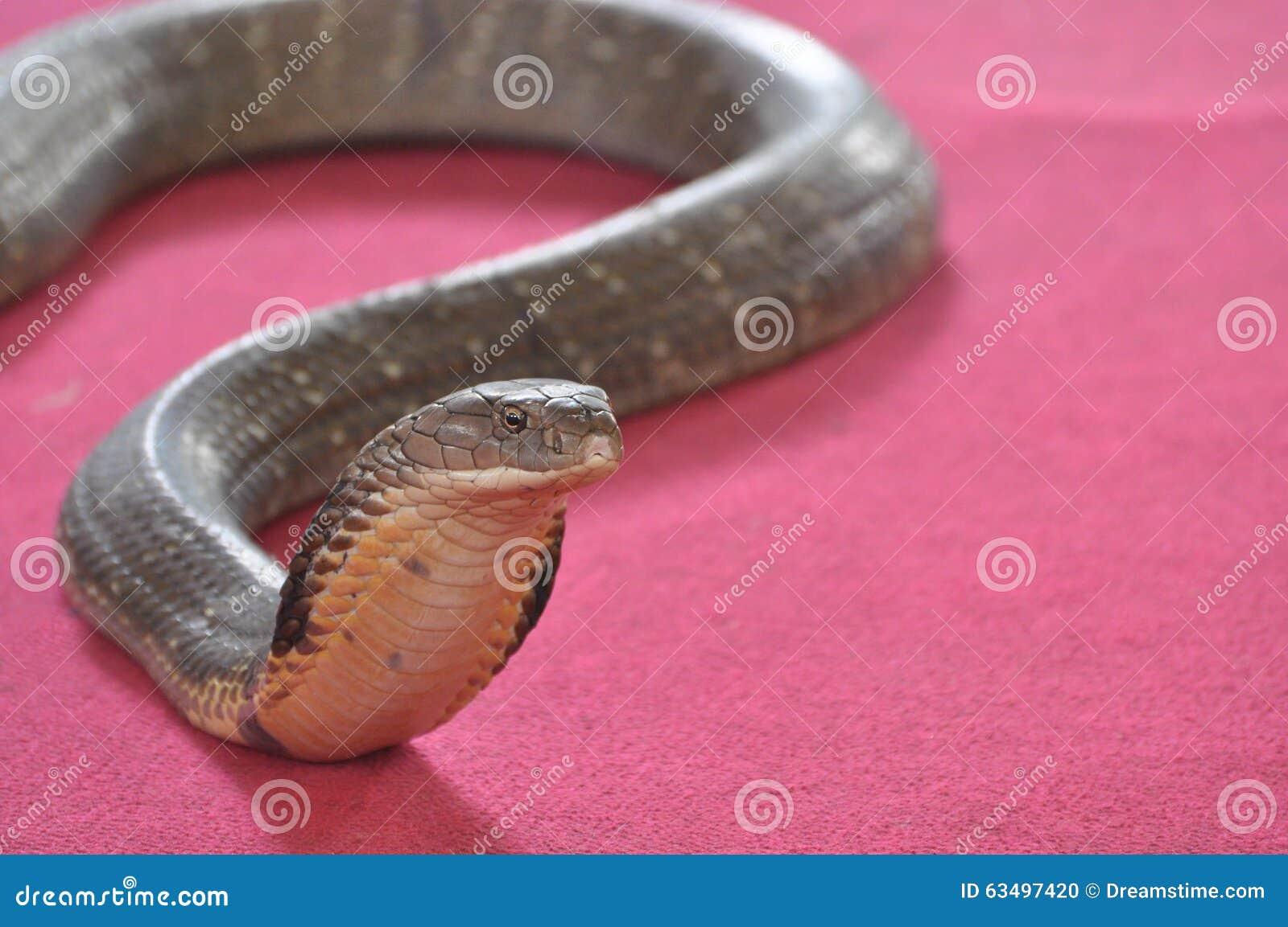 Cobra su un backgrond rosso