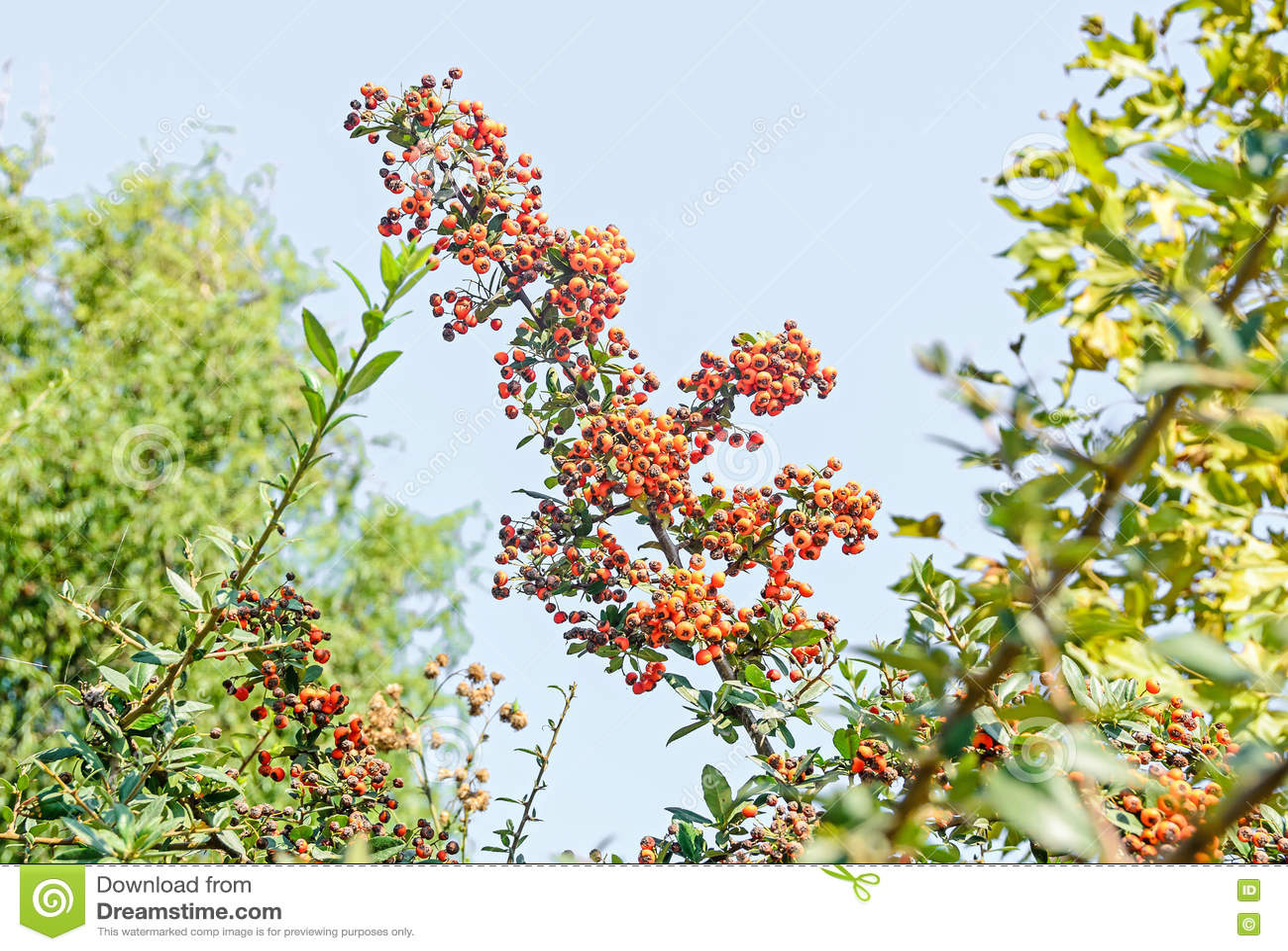Coccinea do Pyracantha, o escarlate do arbusto do firethorn