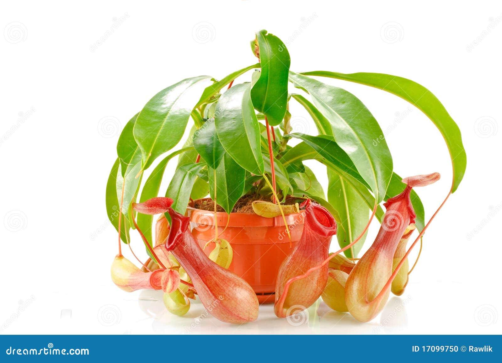 Coccinea van Nepenthes