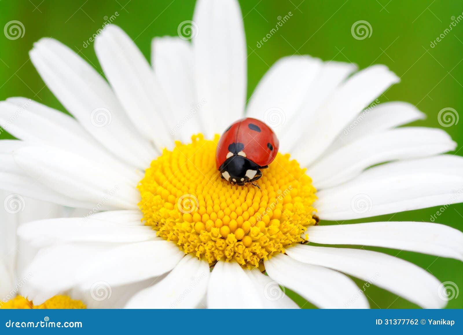 Coccinella su un fiore della camomilla fotografia stock - Coccinella foto gratis ...