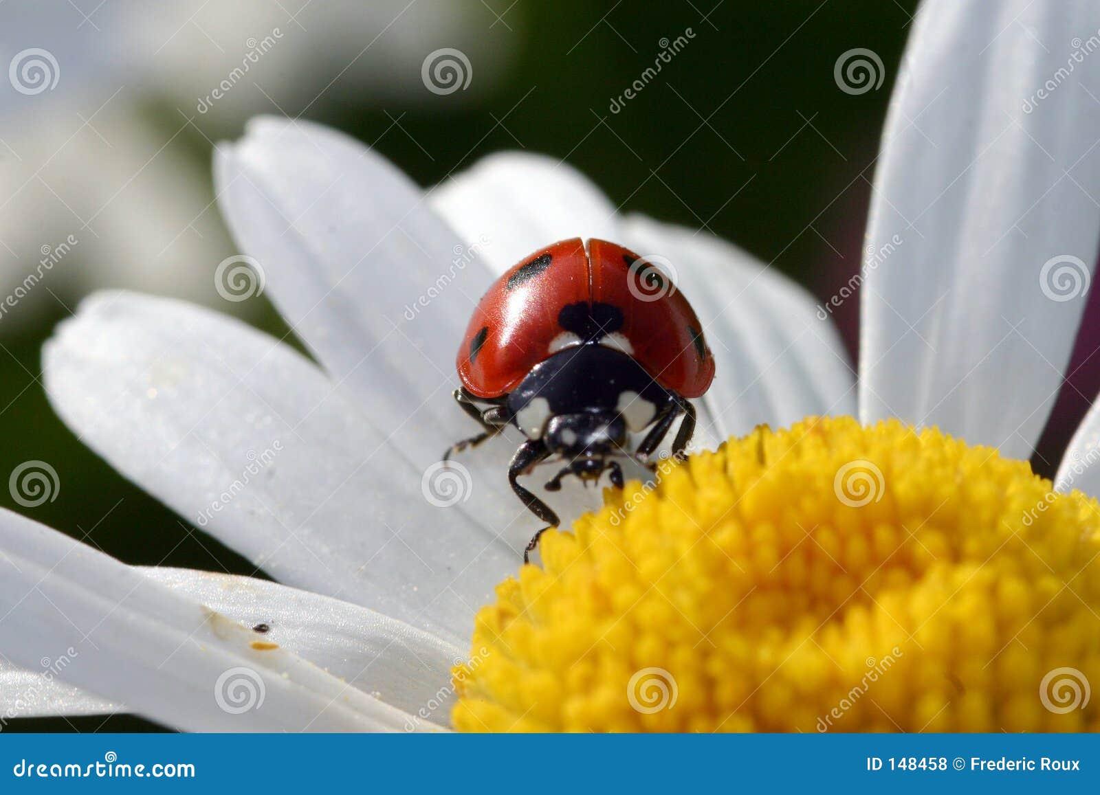 Coccinella sul fiore fotografia stock immagine di estate - Coccinella foto gratis ...