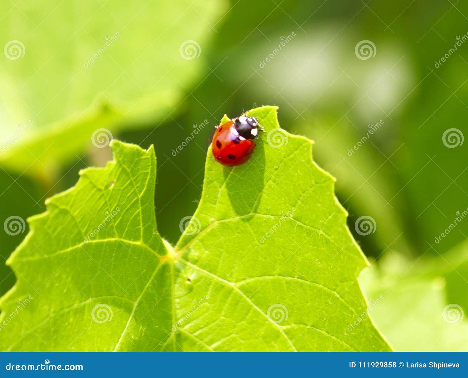 Coccinella Sulla Foglia Fresca Verde In Un Giorno Soleggiato Di