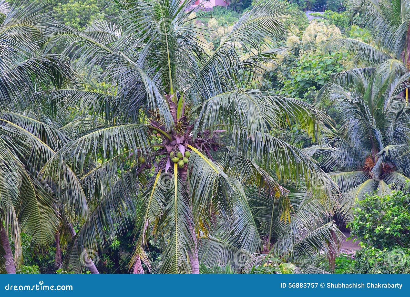 Cocco verde in un villaggio indiano