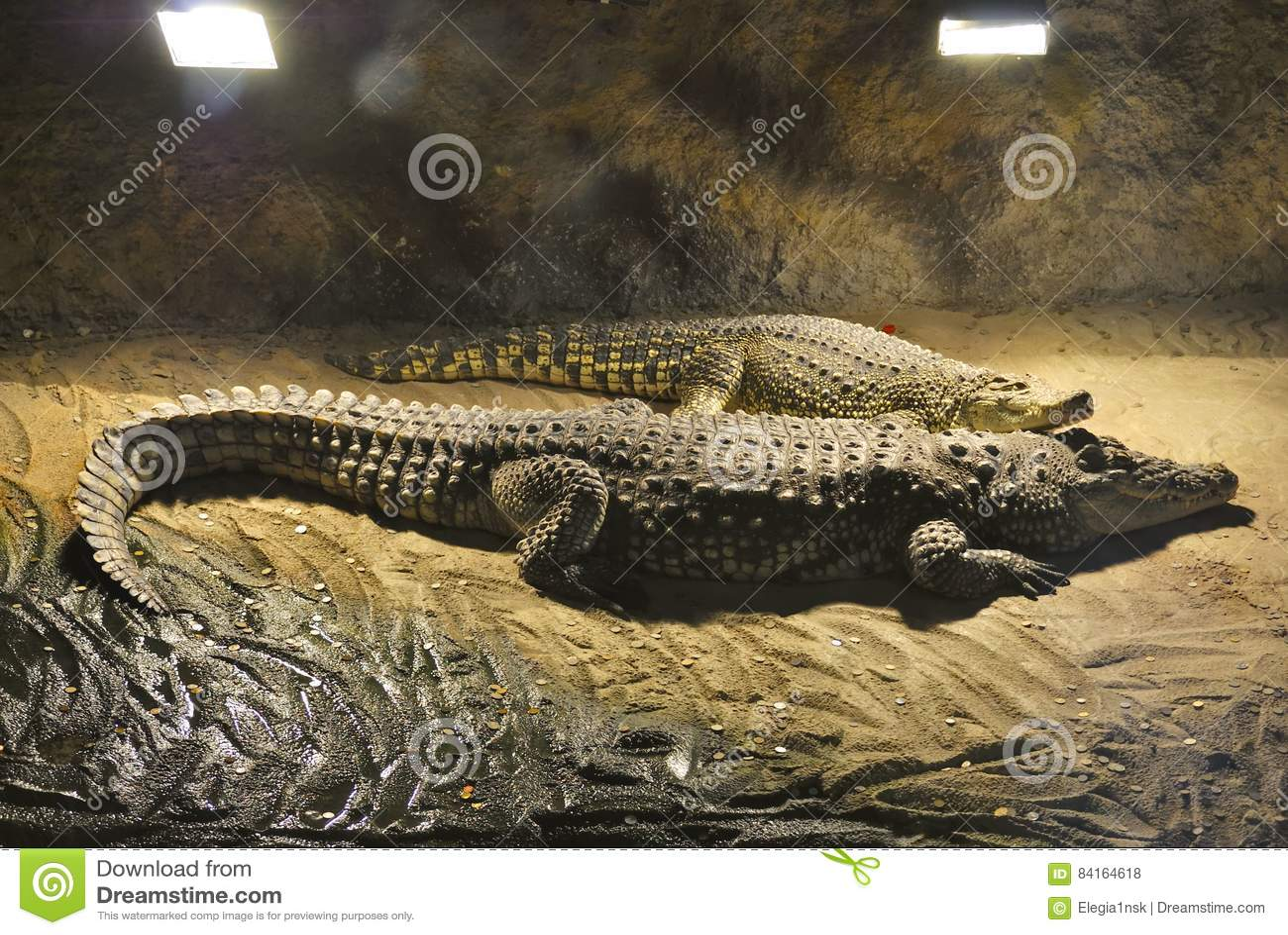 Coccodrilli di Nilo, o crocodylus niloticus