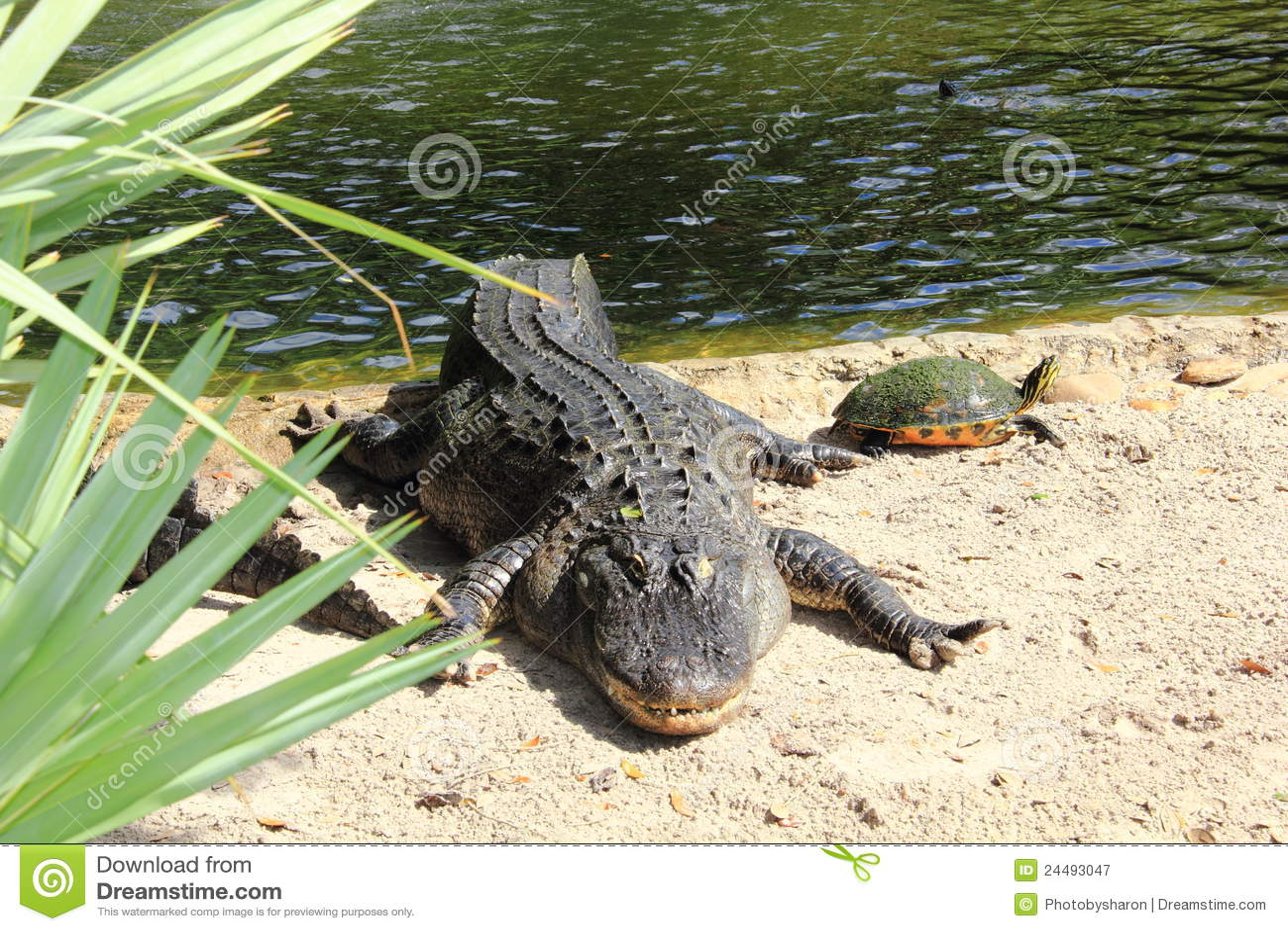 Coccodrillo americano con una tartaruga d 39 acqua dolce for Tartaruga acqua dolce razze