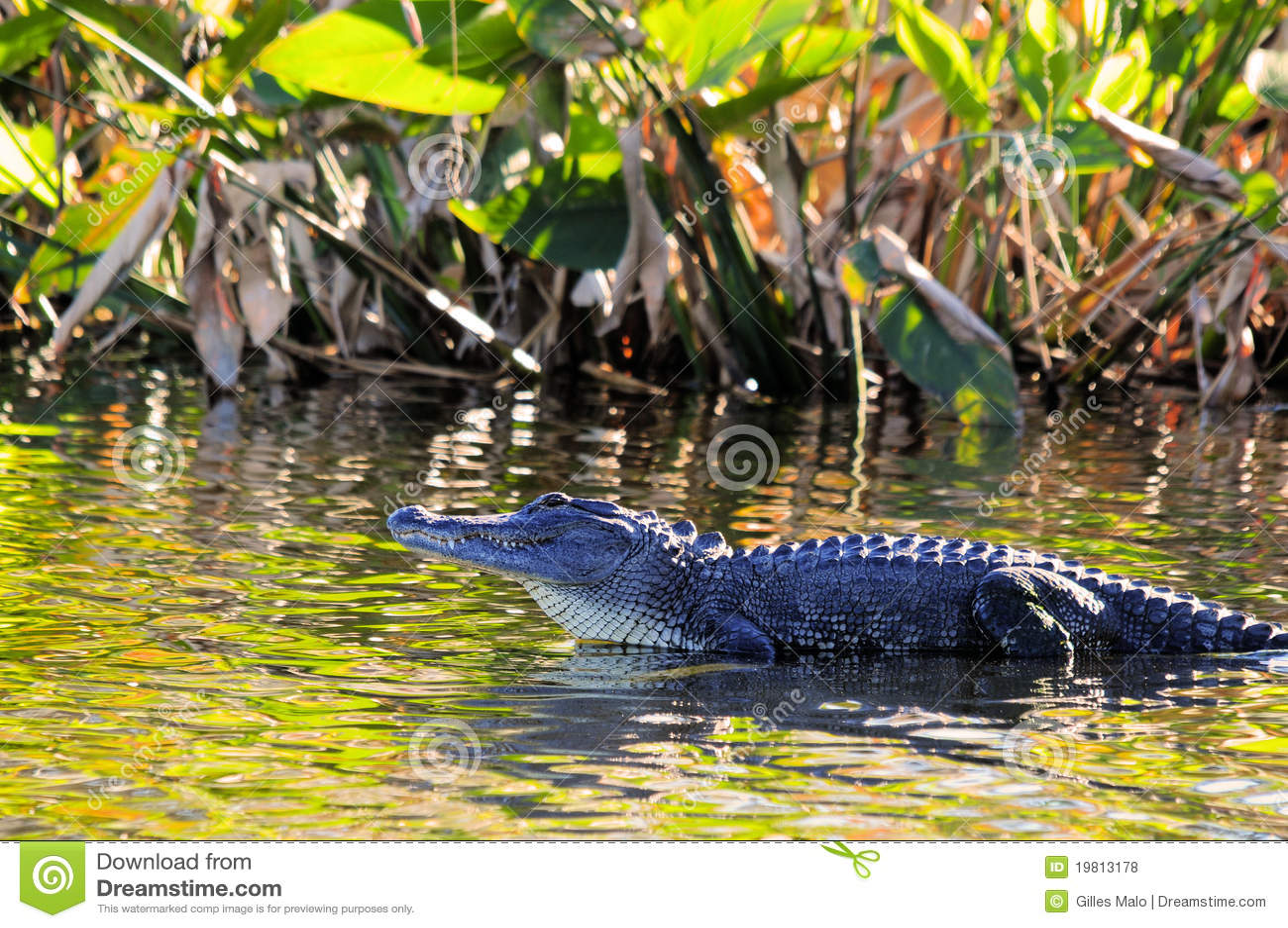 Coccodrillo in area umida