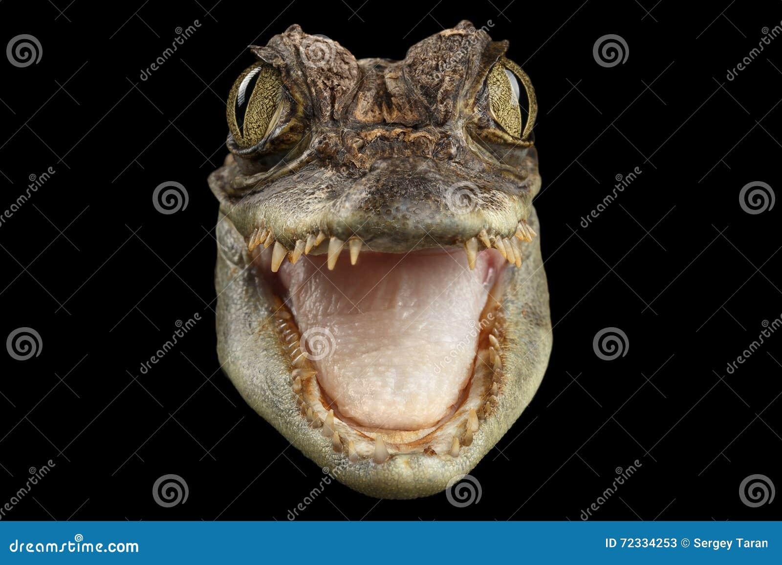 Coccodrillo capo del caimano del primo piano il giovane con la bocca aperta ha isolato il nero