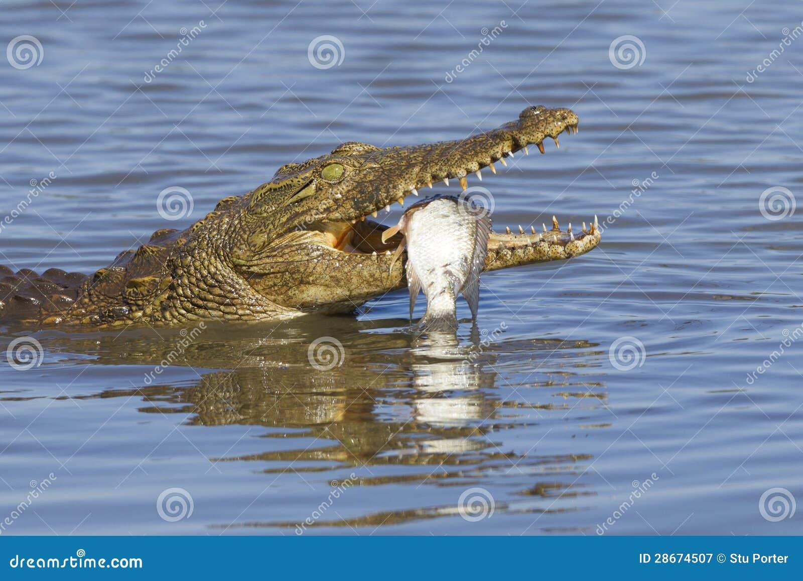 Coccodrillo di Nilo (niloticus) del Crocodylus che mangia, Sudafrica