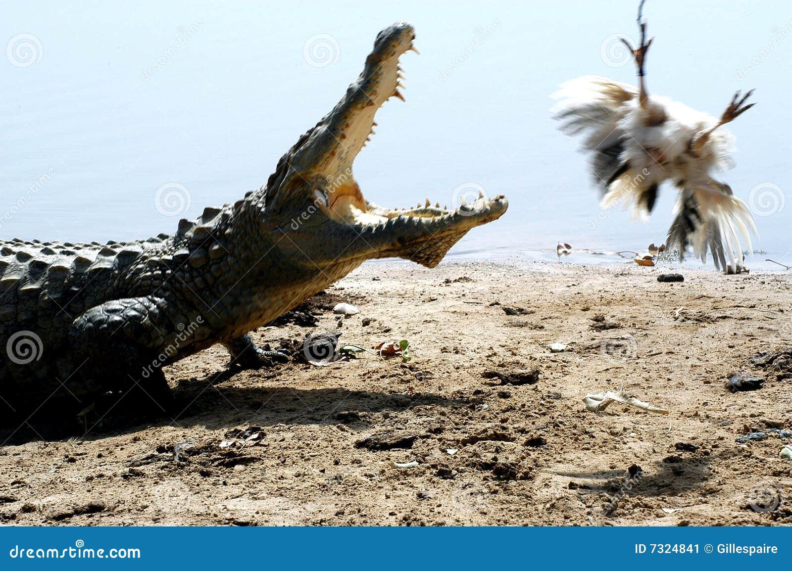 Coccodrillo dopo un pollo