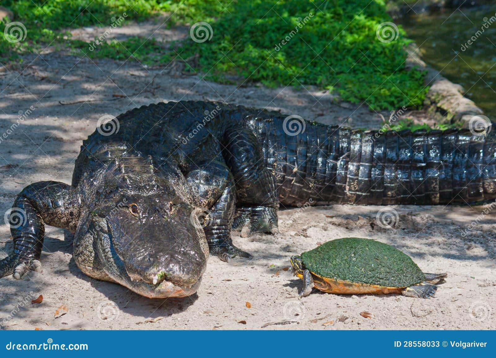 Coccodrillo e tartaruga sulla riva immagine stock for Tartaruga di palude