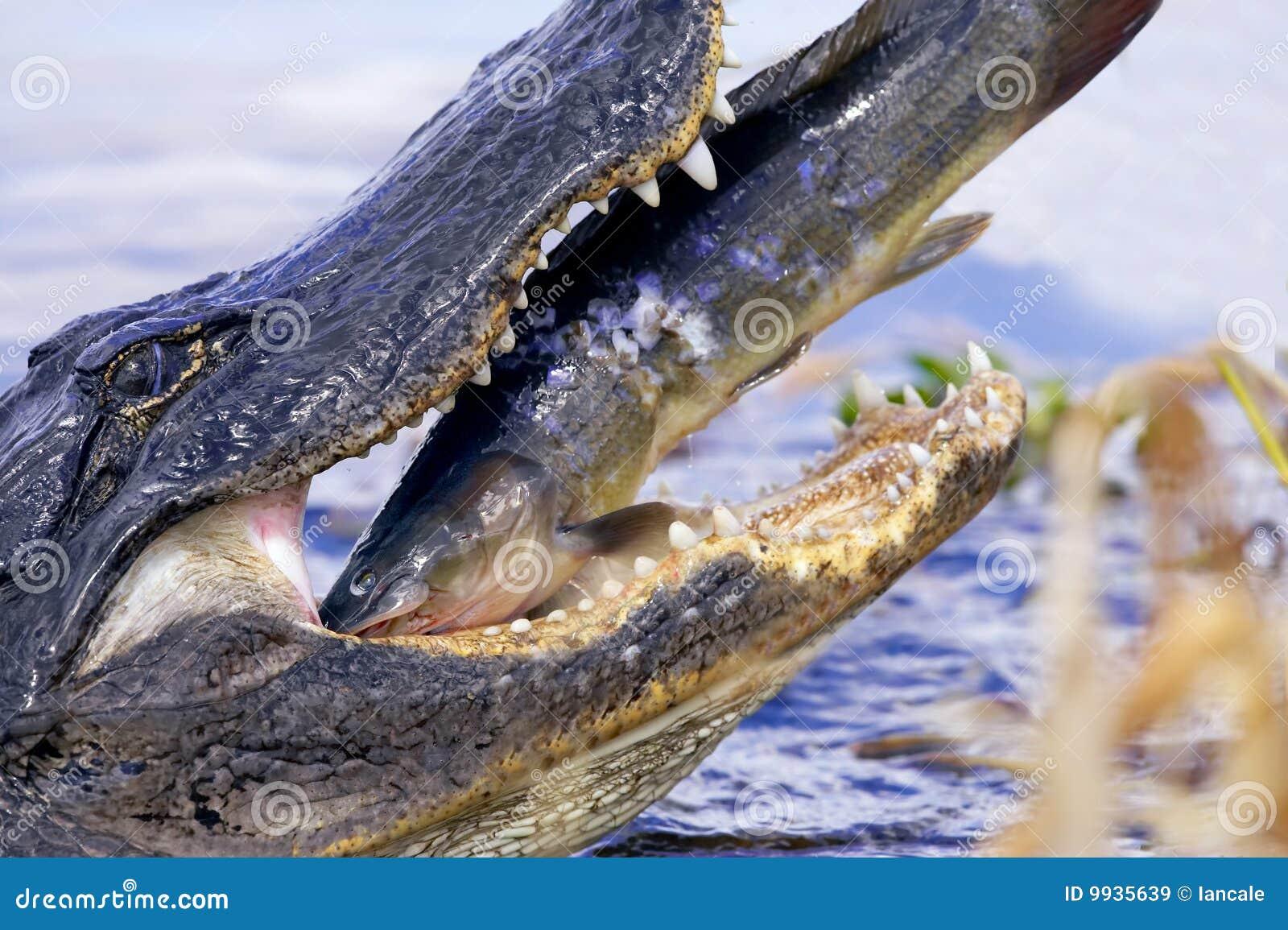 Coccodrillo Selvaggio Che Mangia Pesce Gatto Immagine Stock
