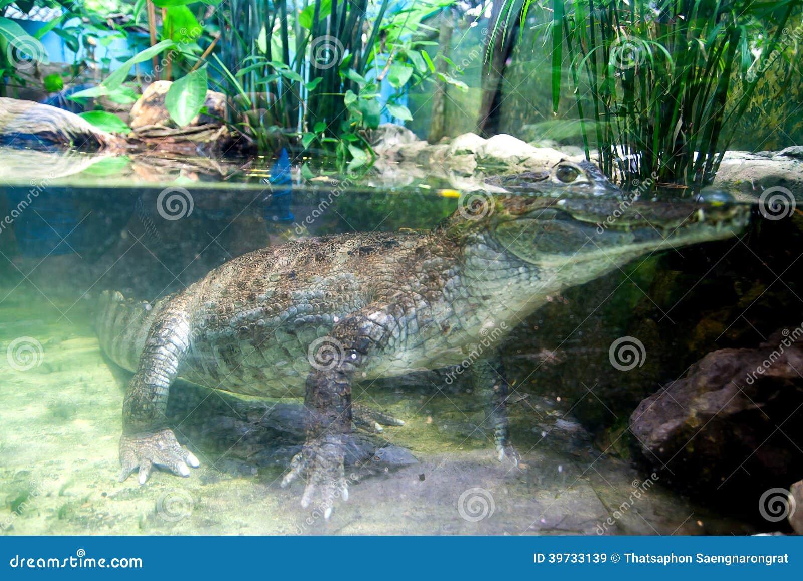 Coccodrillo subacqueo