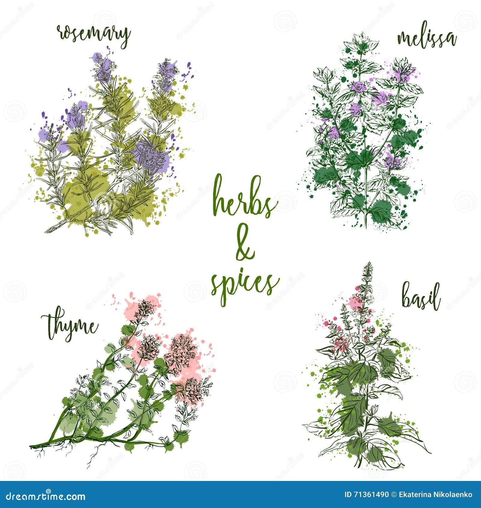Cocinar las hierbas y las especias en estilo de la acuarela Rosemary, toronjil, albahaca, tomillo