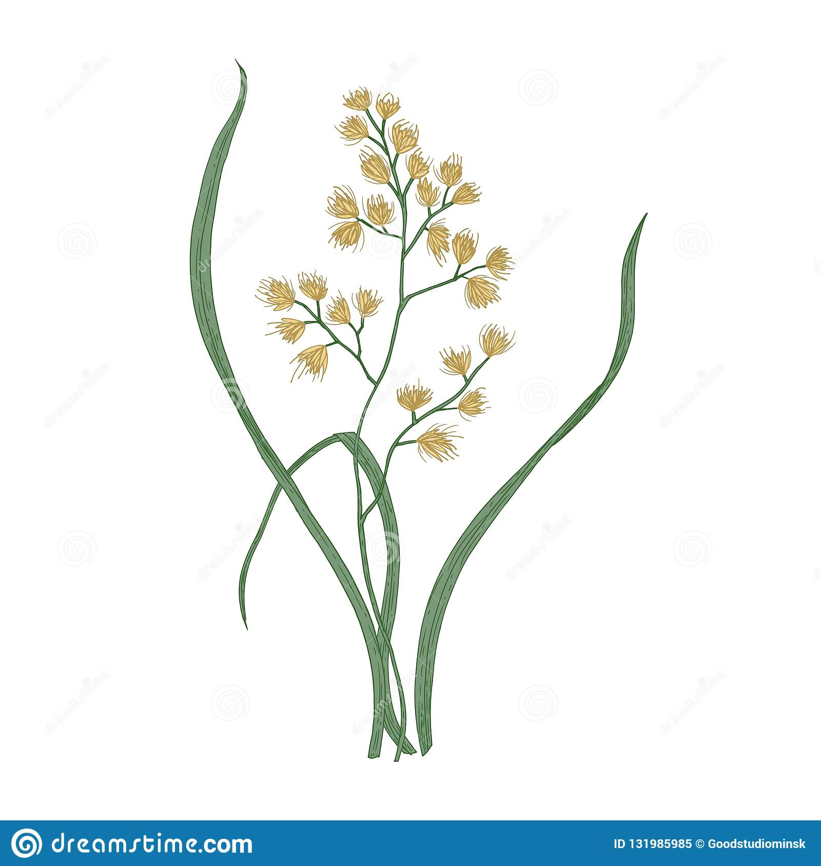 Cock`s-foot or cat grass isolated on white background. Botanical drawing of wild perennial flowering plant growing on