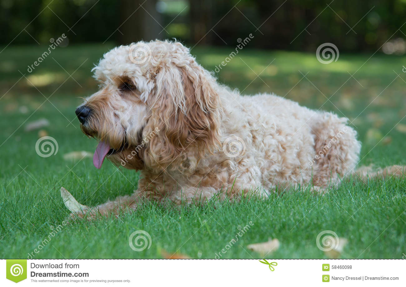 cockapoo dog in the garden stock photo image of facing