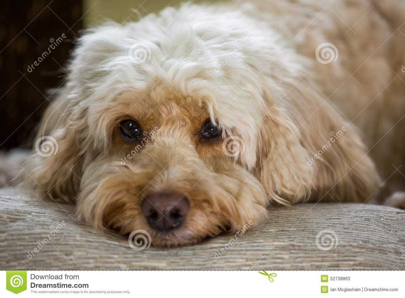 Cockapoo With Head On Pillow Stock Photo Image 52738863