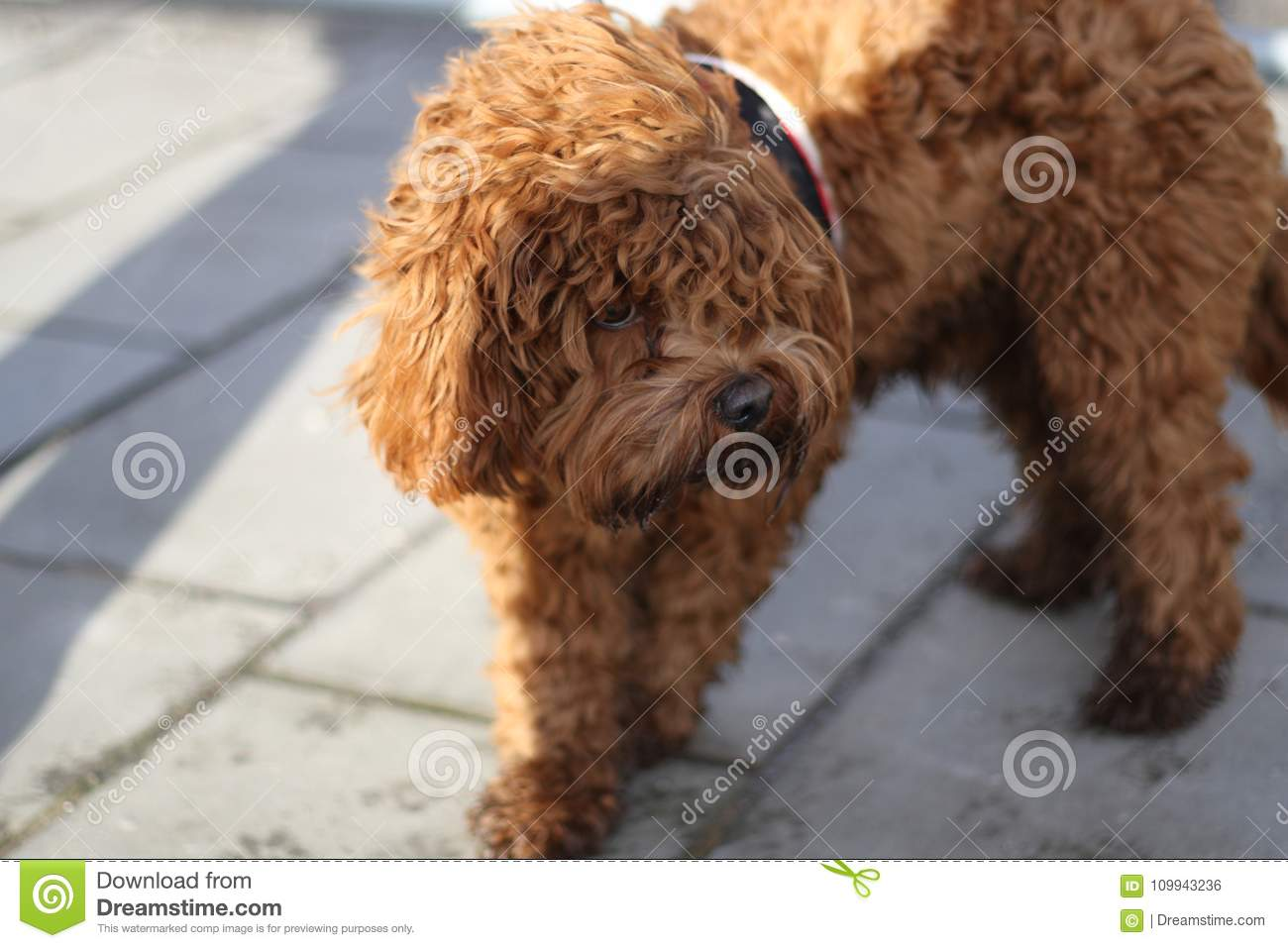 Cockapoo Poodle Dog Teddy Bear Stock Photo Image Of Breed Domestic 109943236