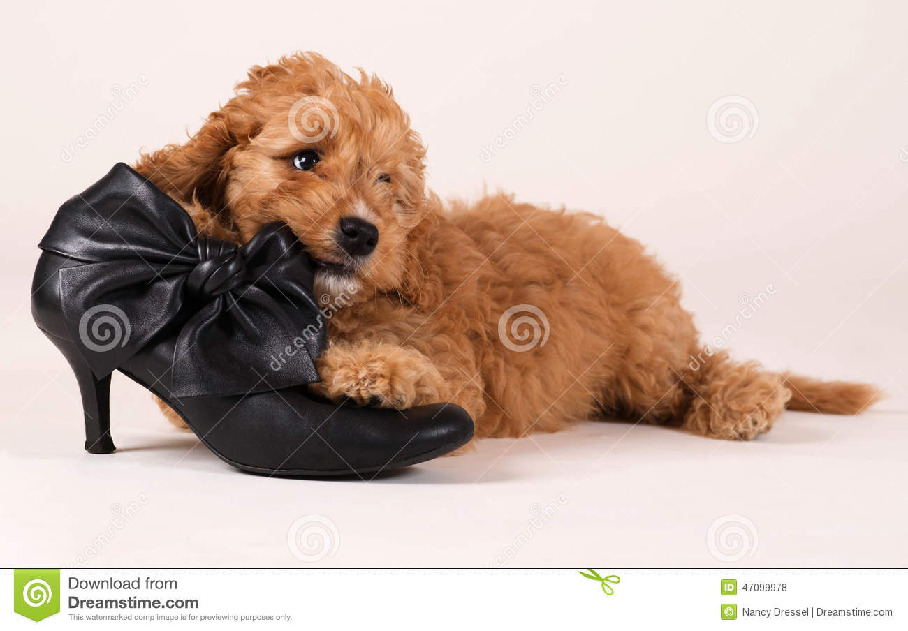Cockapoo Puppy With Black Shoe Stock Photo Image Of Background Eyes 47099978