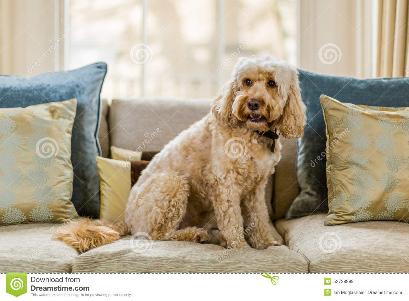 Cockapoo On Sofa Stock Photo Image 52738899