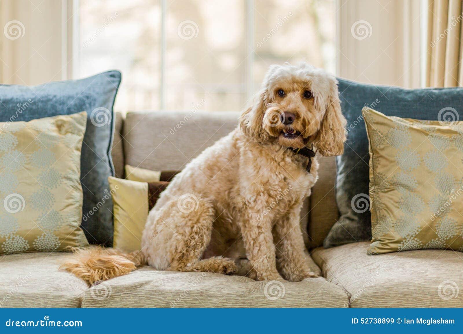 Cockapoo On Sofa Stock Photo Image 52738899