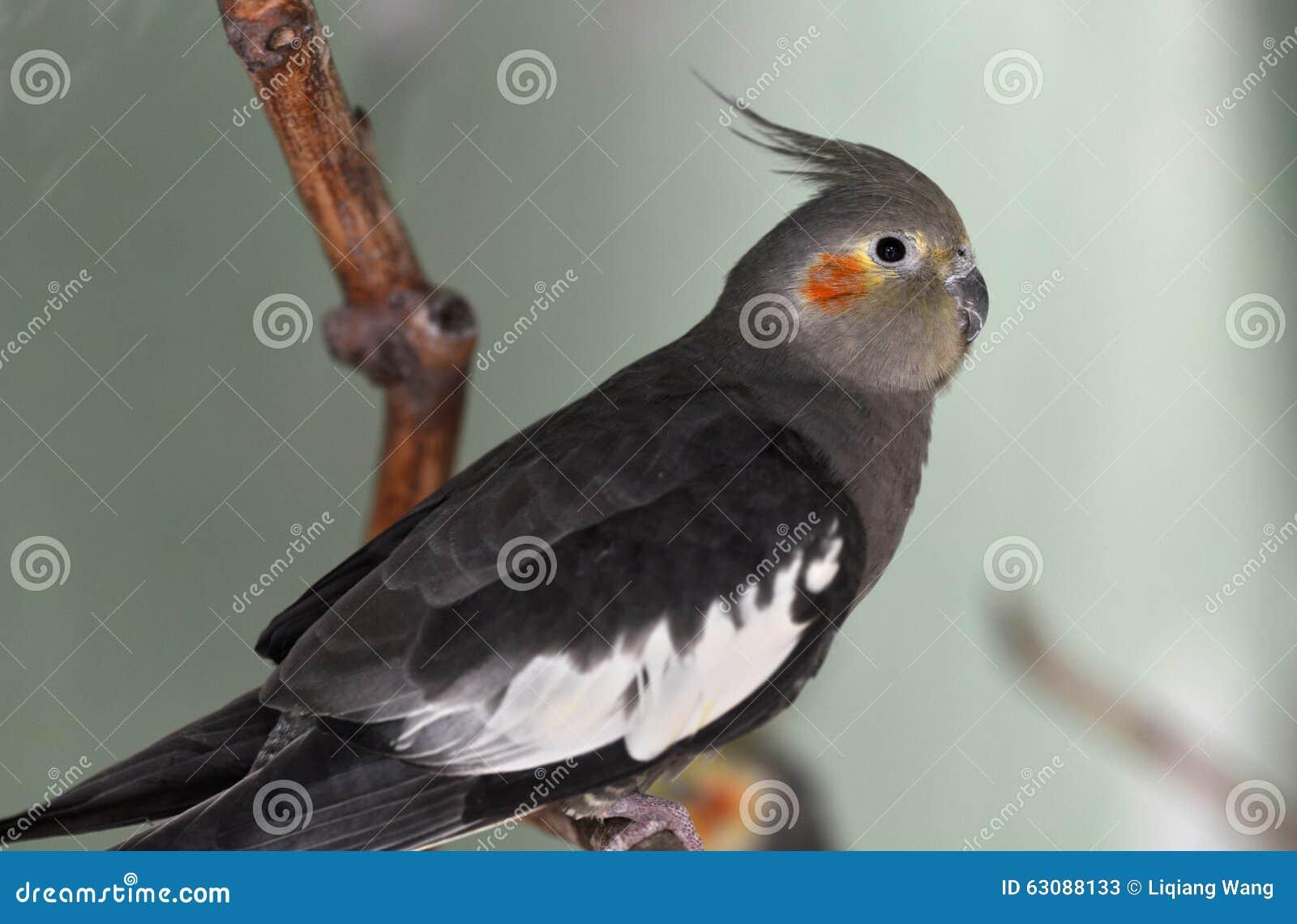 Download Cockatiel image stock. Image du oiseaux, australie, illustrations - 63088133