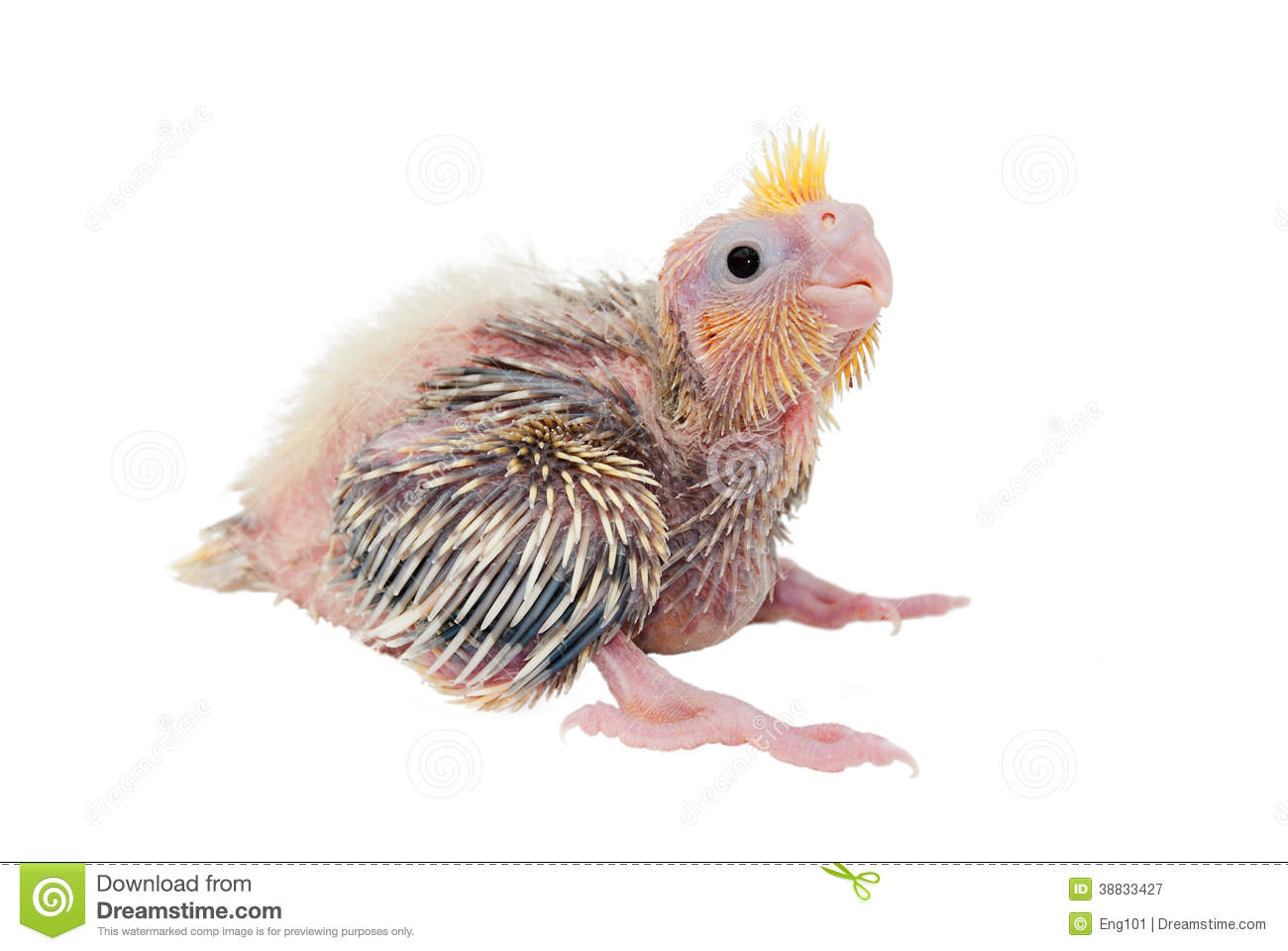 Cockatiel Baby Stock Image. Image Of Feathers, Nestling
