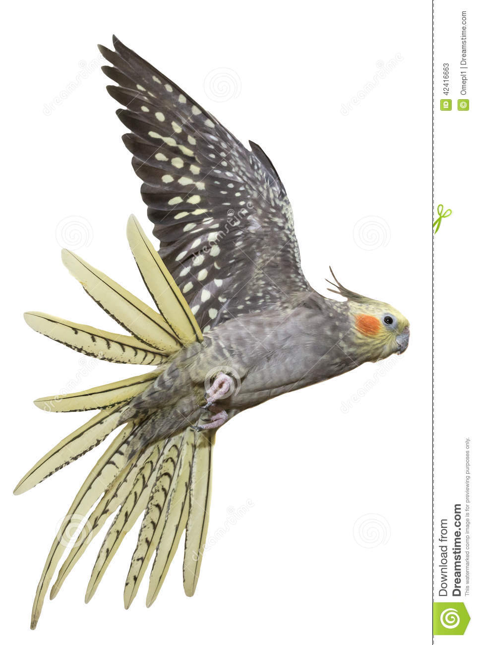 Cockatiel Flying stock image. Image of cute, crest, animal ... | 962 x 1300 jpeg 103kB