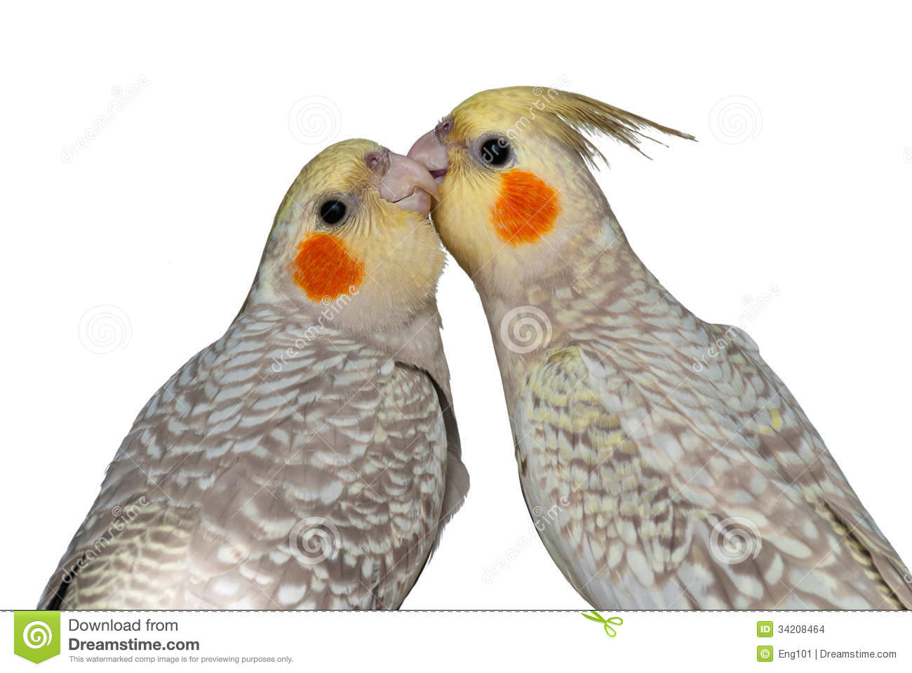 Cockatiels mutual preening stock photo. Image of isolated ...