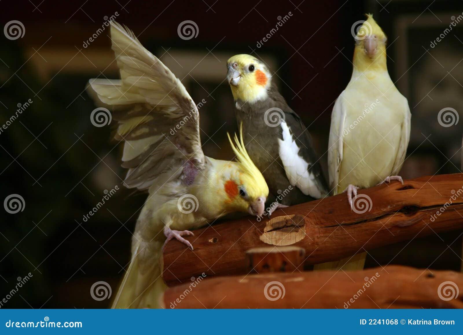 Cockatiels que se relajan