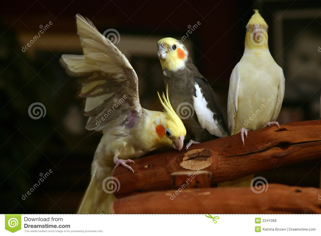 Cockatiels Relaxing