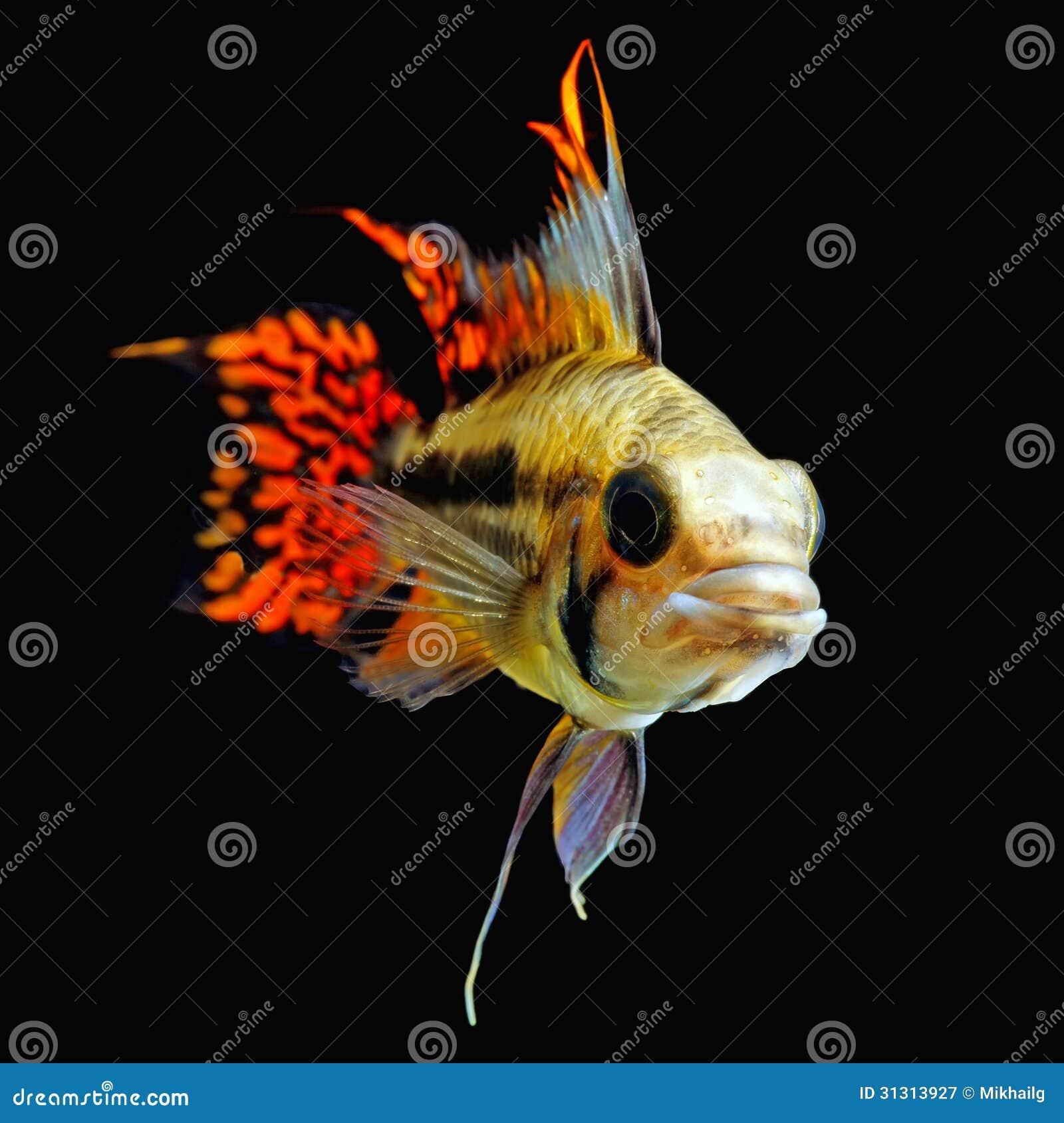 Freshwater aquarium fish cichlids - Cockatoo Dwarf Cichlid Royalty Free Stock Photography