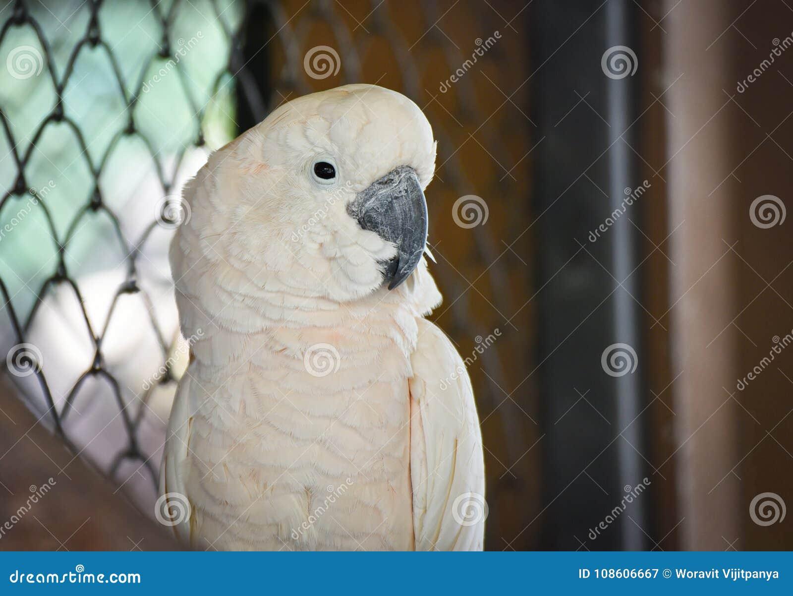 Cockatoo moluqueño