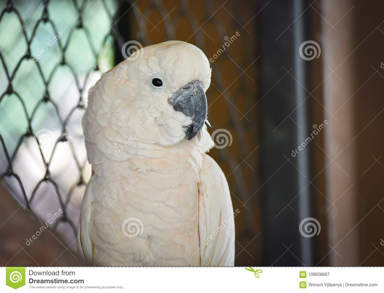 Cockatoo moluquois