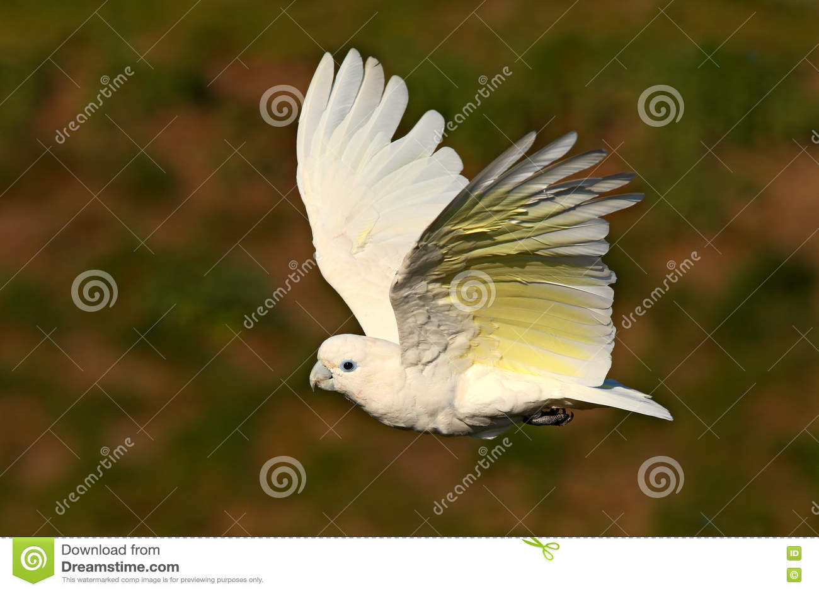 Cockatoo Solomons, ducorpsii Cacatua, πετώντας άσπρος εξωτικός παπαγάλος, πουλί στο βιότοπο φύσης, σκηνή δράσης από τις άγρια περ