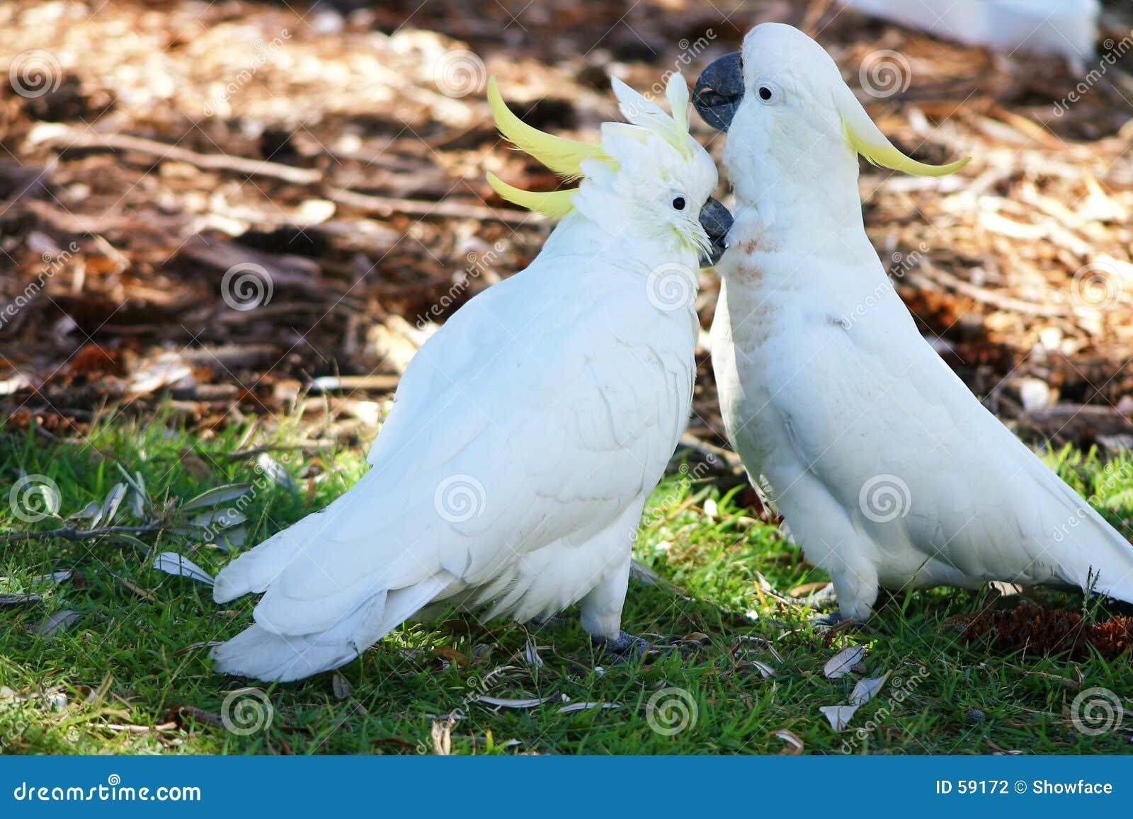 Cockatoos Canoodling