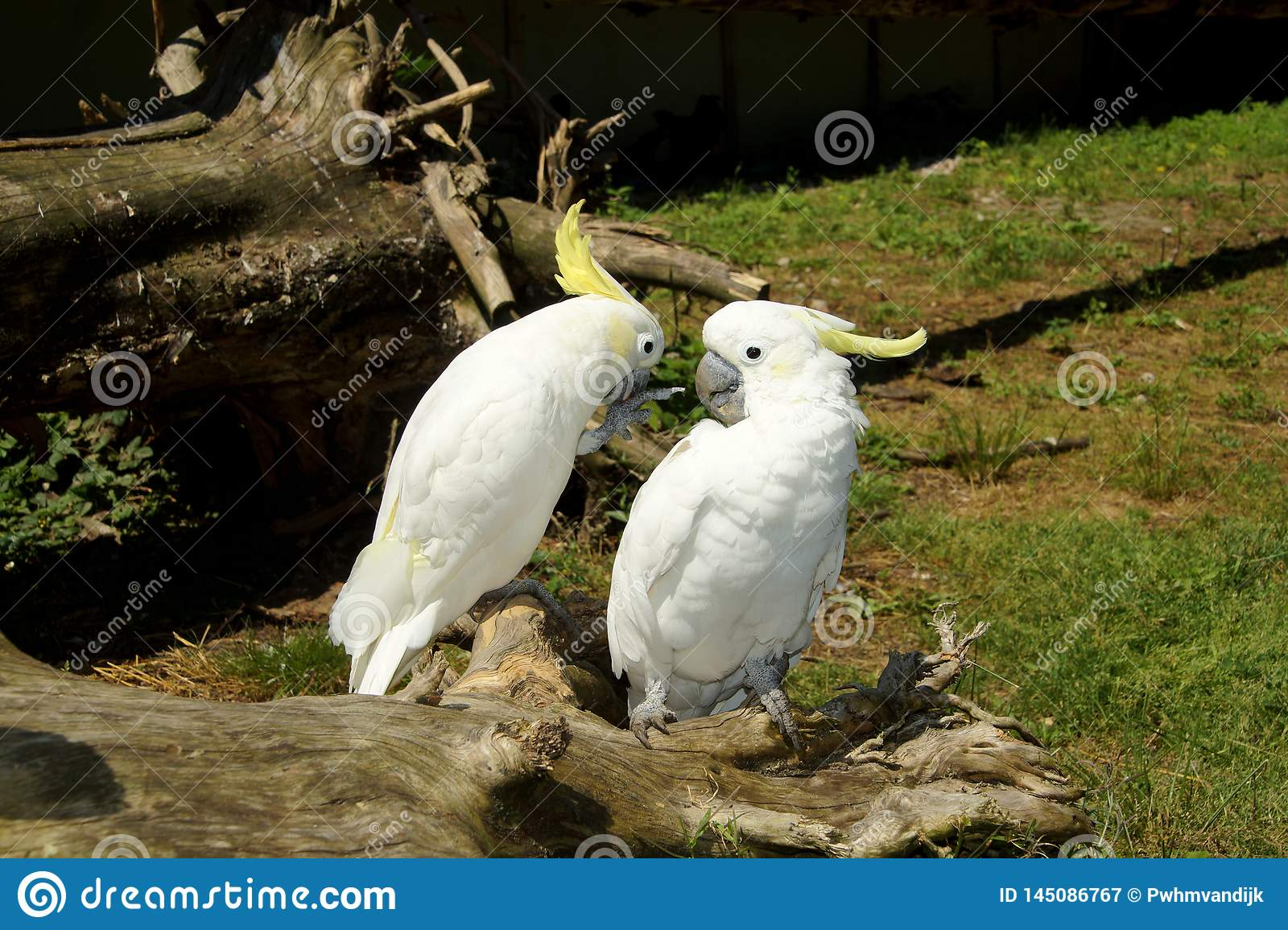 Cockatoos on a tree trunk