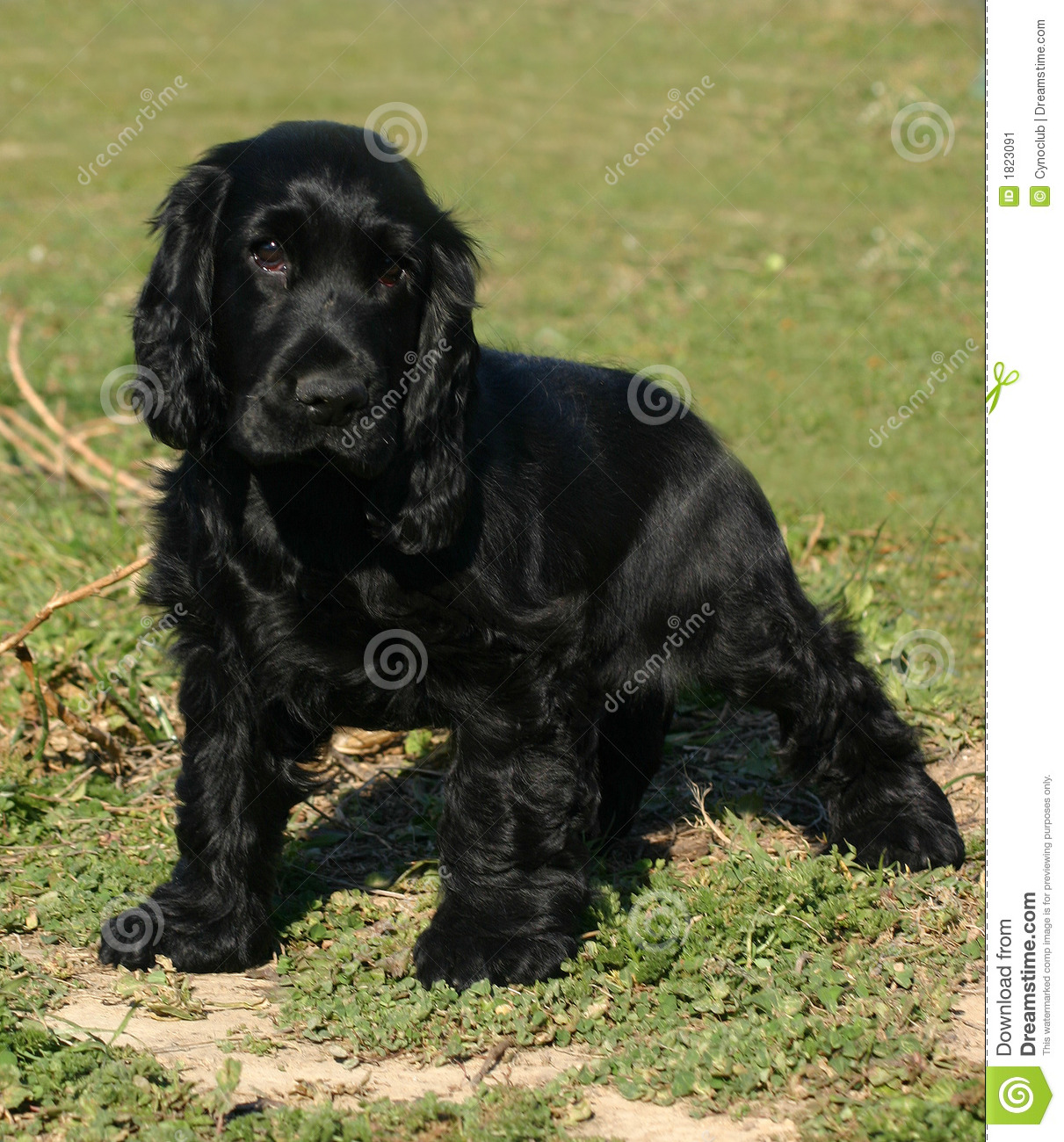 Blue Roan Springer Spaniel Puppies For Sale || waddwinlacucomply