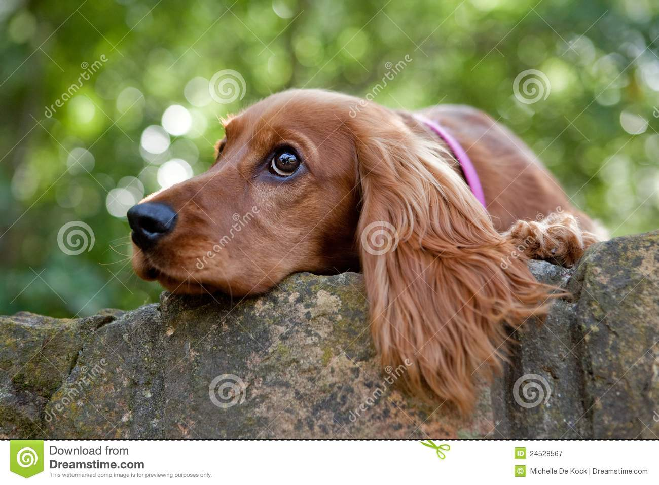Cocker Spaniel Royalty Free Stock Photography Image