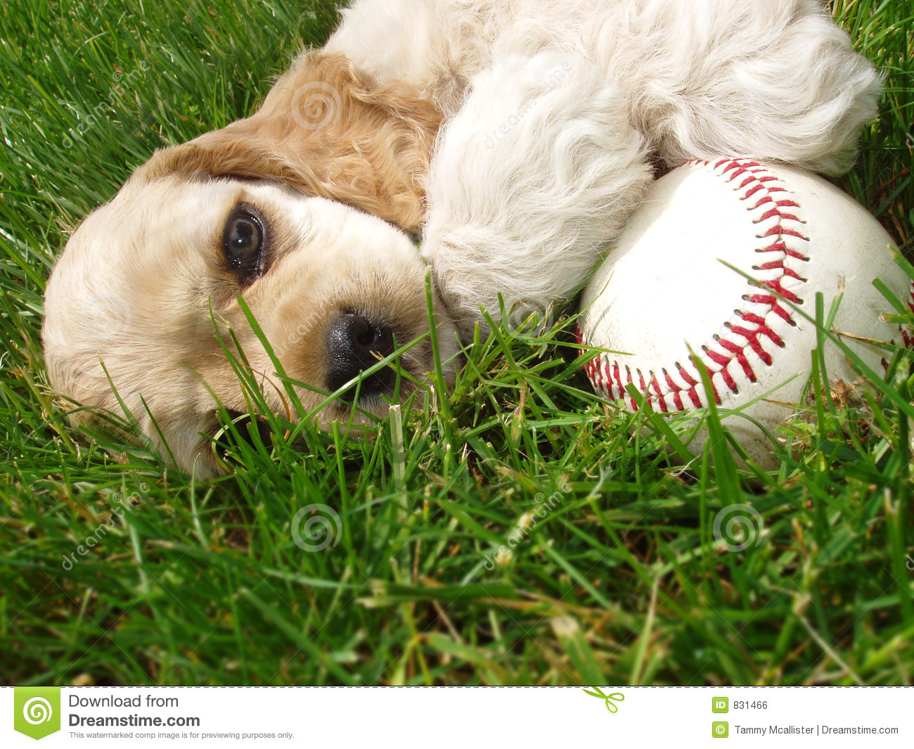 Cocker spaniel with baseball