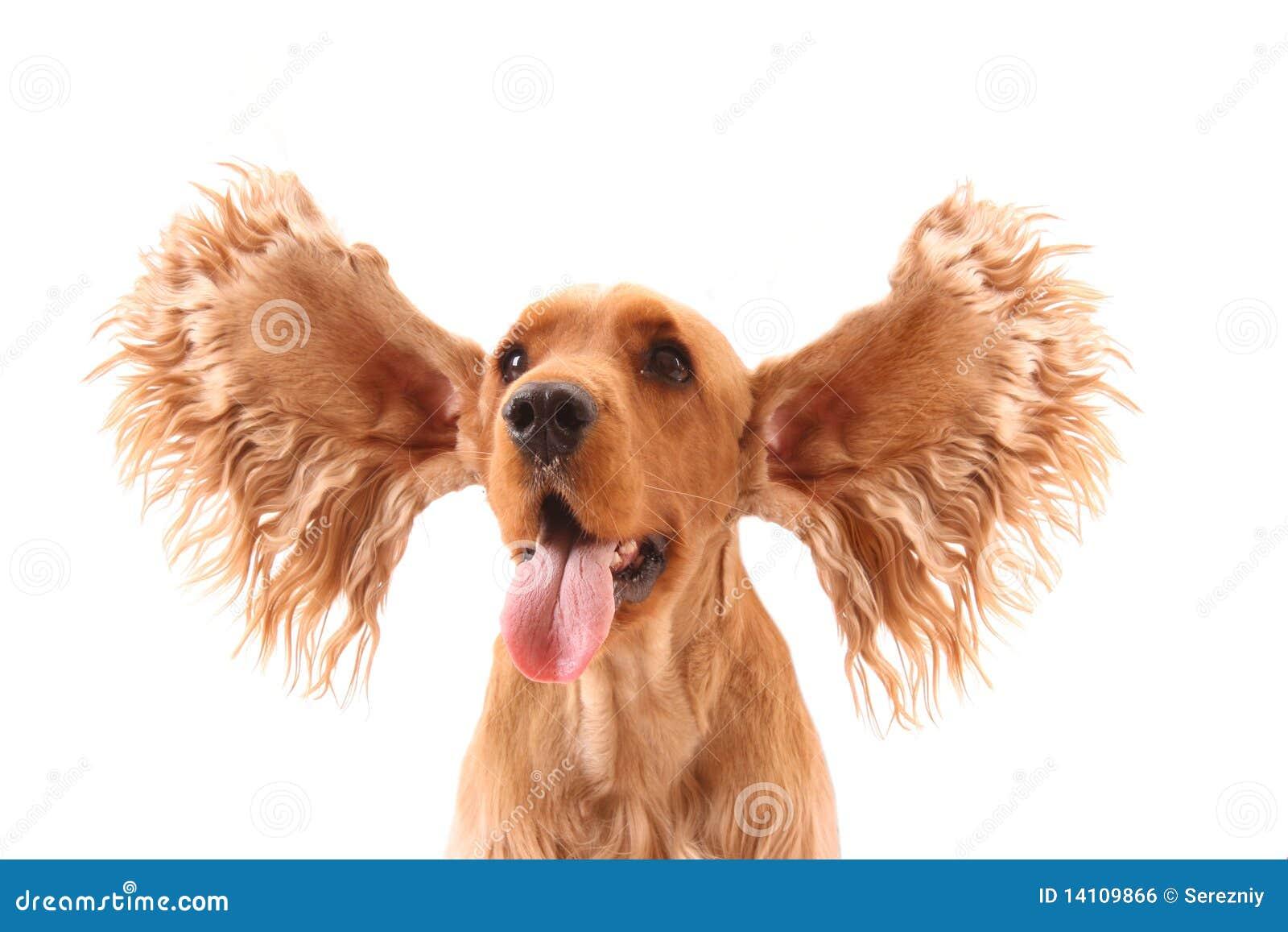 Cocker spaniel with big ears